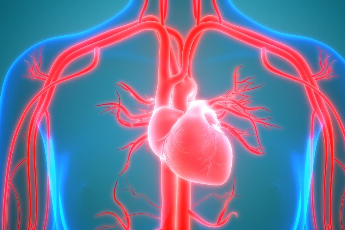 arterias, como funcionan
