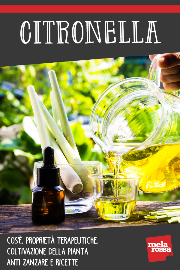 Lemongrass: planta anti mosquitos: beneficios y como cultivarla