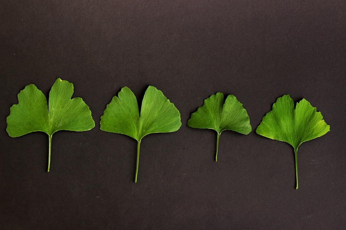 ginkgo biloba: beneficios para la salud