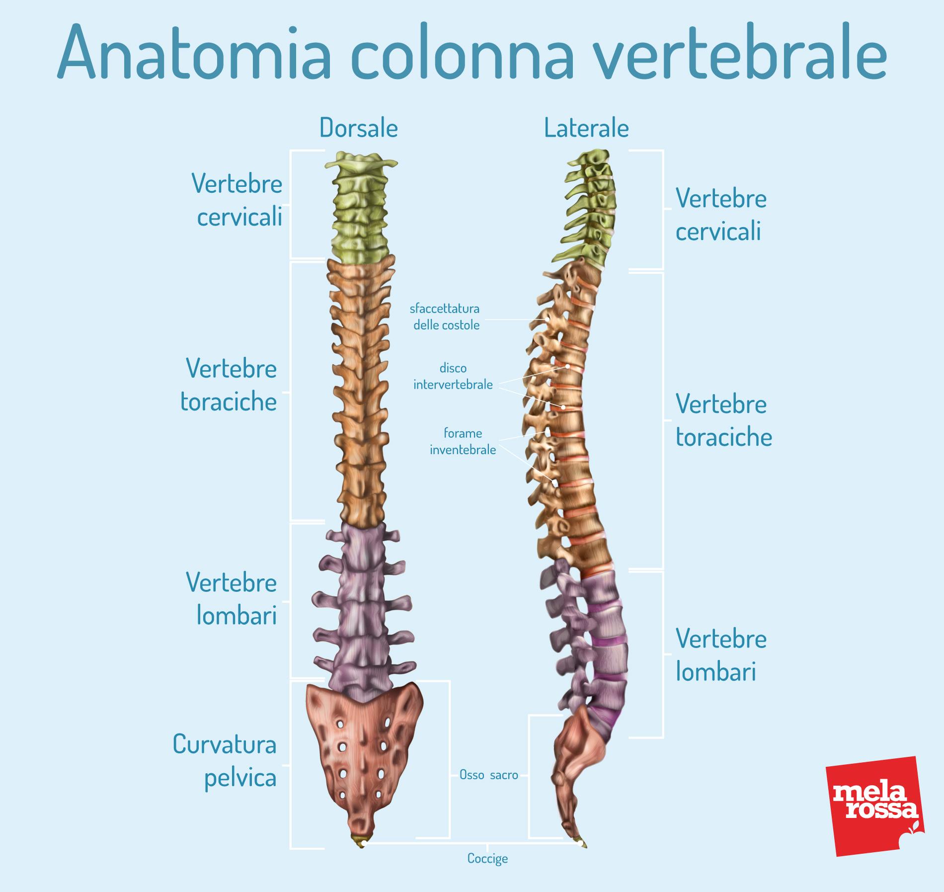 Escoliosis: anatomía de la columna